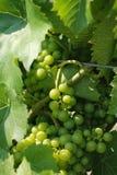 Raisins verts d'établissement vinicole Photographie stock libre de droits