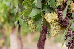 Raisins verts dans la vigne Photo libre de droits