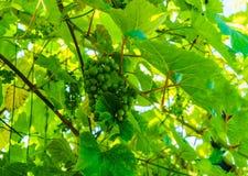 Raisins verts de maturation accrochant sur les branches des raisins image stock