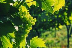 Raisins verts en gros plan dans un vignoble Photographie stock