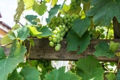 Raisins verts haning Photos stock
