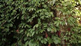 Raisins verts sauvages décoratifs s'élevant dans le jardin banque de vidéos