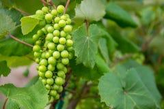 Raisins verts sur des vignes de Vinyard Photographie stock libre de droits