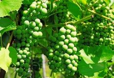 Raisins verts sur la vigne Photographie stock libre de droits