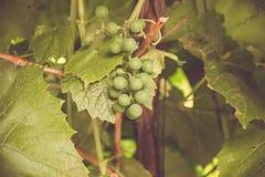 Raisins verts sur la vigne photo libre de droits