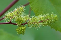 Raisins, vigne fleurissante, fleurs vertes de raisin Photographie stock libre de droits