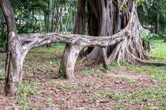 A raiz aérea de chorar o benjamina do ficus do figo gosta de um banco no jardim foto de stock royalty free