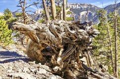 Raiz atada da árvore ao longo das fugas da montagem Charleston, Nevada foto de stock