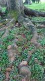 Raiz da árvore Fotografia de Stock