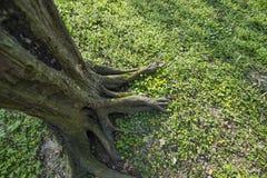 Raiz da árvore Imagens de Stock