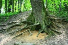 Raiz da árvore Imagem de Stock