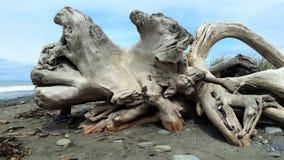 Raiz da árvore em uma praia Imagem de Stock Royalty Free