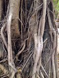 Raiz da árvore velha Fotos de Stock