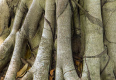 Raiz da madeira, árvore grande Tailândia Imagem de Stock Royalty Free