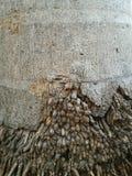 Raiz da palmeira Imagem de Stock