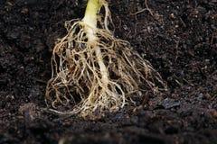 Raiz da planta no solo foto de stock