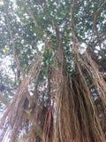 Raiz das árvores Imagem de Stock Royalty Free
