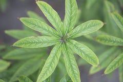 A raiz de Culver do Siberian - setas vermelhas Foto de Stock Royalty Free