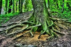 Raiz de Hdr da árvore Imagens de Stock Royalty Free