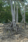 Raiz de Pinetree Foto de Stock