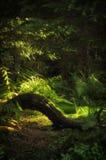 Raiz de uma árvore em uma floresta, Zakopane Fotografia de Stock