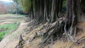 Raiz do distichum do Taxodium Fotos de Stock Royalty Free