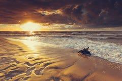 Raiz dourada do por do sol e da árvore na praia Imagens de Stock