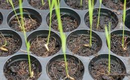 Raiz e plântula do arroz Imagem de Stock