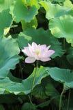 Raiz nova dos lótus e folha de florescência dos lótus dos lótus imagem de stock royalty free