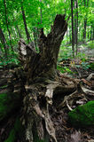 Raiz podre da árvore Imagem de Stock