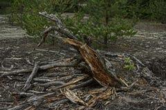 Raiz podre fendida da árvore Foto de Stock Royalty Free