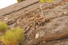 Raiz seca das árvores na ilha de Vulcan de Vulcano, Itália, Lipari fotografia de stock royalty free