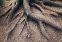 Raiz velha da árvore, na floresta. Paisagem Imagens de Stock