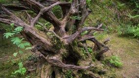 Raiz velha grande da árvore foto de stock royalty free