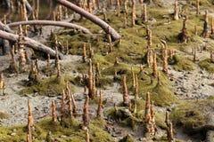 Raizes aéreas dos manguezais Imagens de Stock Royalty Free