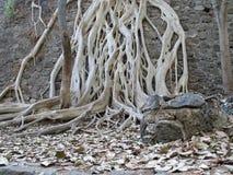 Raizes brancas da árvore fotografia de stock