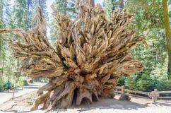 Raizes caídas da sequoia gigante no bosque de Mariposa, Califórnia Fotos de Stock Royalty Free