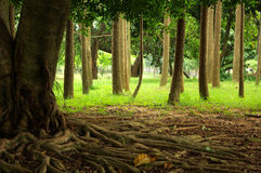 Raizes da árvore Imagem de Stock Royalty Free