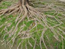Raizes da árvore foto de stock
