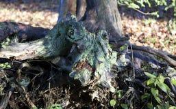 Raizes da árvore foto de stock royalty free