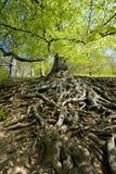 Raizes da árvore Fotos de Stock Royalty Free