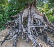 Raizes da árvore da praia Imagens de Stock Royalty Free