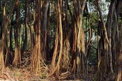 Raizes da árvore de Banyan Fotos de Stock Royalty Free