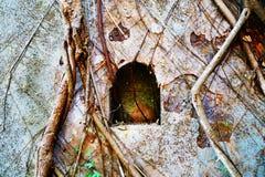 Raizes da árvore de Banyan, fundo, fim acima Fotografia de Stock