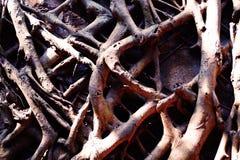Raizes da árvore de Banyan, fundo, fim acima Foto de Stock Royalty Free