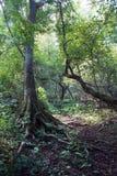 Raizes da árvore de cedro na fuga de caminhada Fotos de Stock