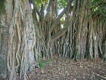 Raizes da árvore de figo fotografia de stock