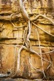 Raizes da árvore de figo Foto de Stock Royalty Free
