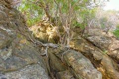 Raizes da árvore de figo que crescem de uma rocha foto de stock royalty free