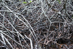Raizes da árvore de floresta dos manguezais Foto de Stock